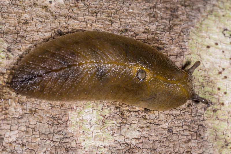 Leaf-veined slug (Athoracophorus bitentaculatus). Whariwharangi Bay, Abel Tasman National Park.