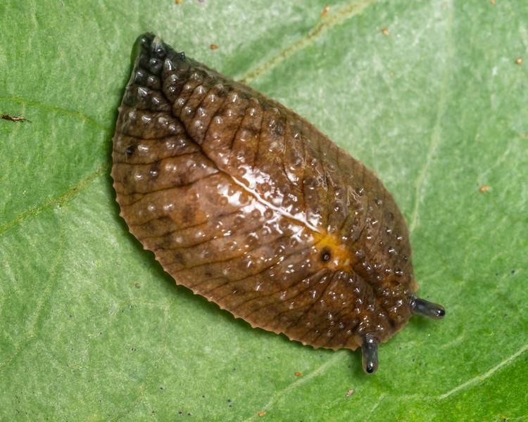Leaf-veined slug (Athoracophorus bitentaculatus). Kauri Loop Walk, Hakarimata Range.