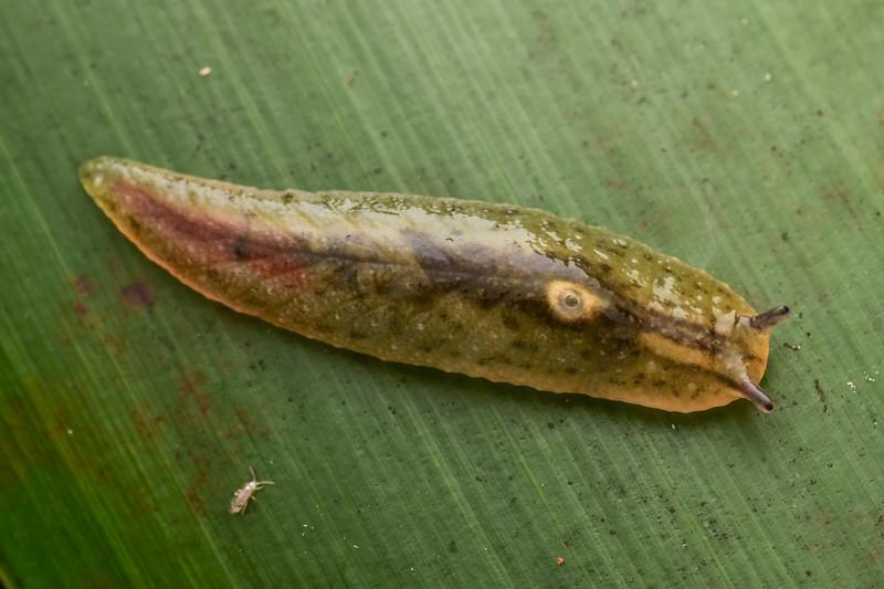 Leaf-veined slug (Athoracophorus bitentaculatus). Bridge to Nowhere, Whanganui National Park.