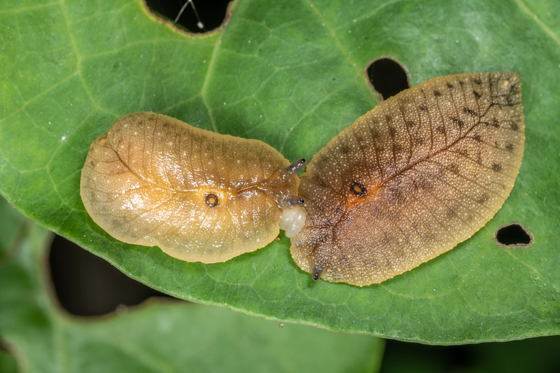 Leaf-veined slug (Athoracophorus bitentaculatus) in copula. Te Horo Tunnel, Whitecliffs Walkway, Taranaki.