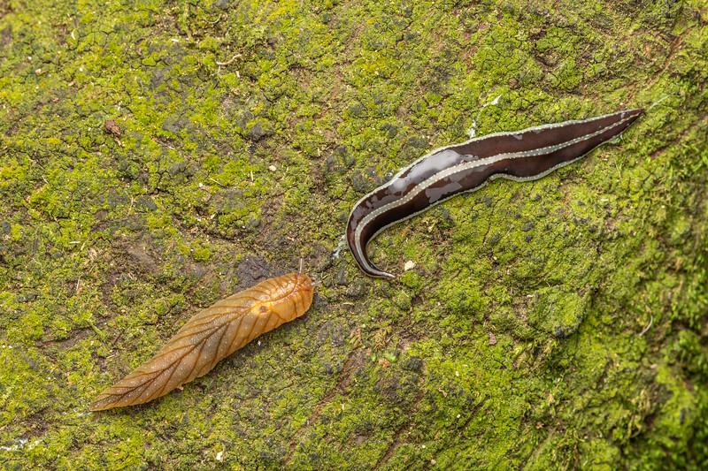Leaf-veined slug (Athoracophorus bitentaculatus) and flatworm (Australopacifica sp.). Poukaria campsite, Whanganui River.