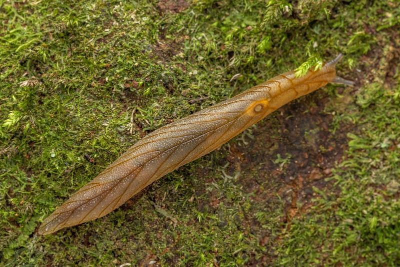 Leaf-veined slug (Athoracophorus bitentaculatus). Poukaria campsite, Whanganui River.