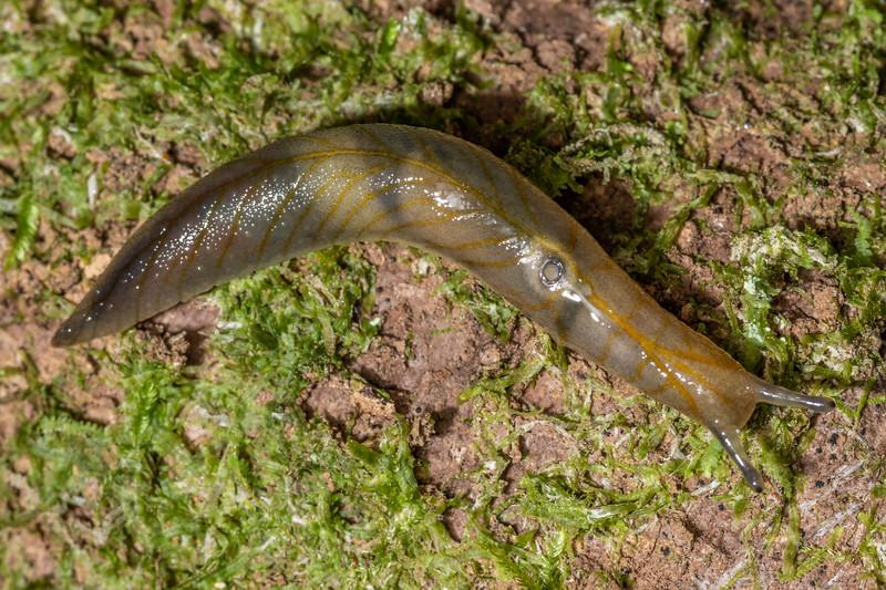 Leaf-veined slug (Athoracophorus bitentaculatus). Sledge track, Palmerston North, Manawatū.