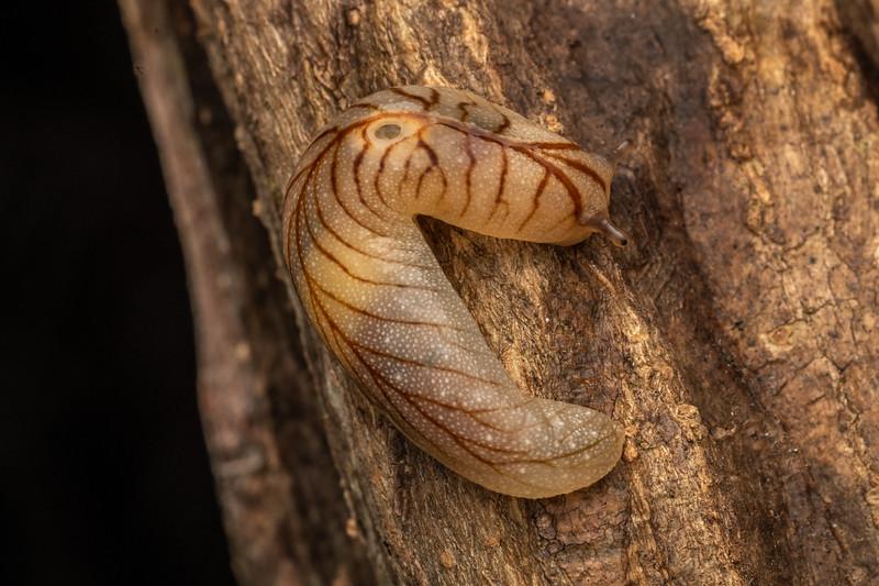Leaf-veined slug (Athoracophorus bitentaculatus). Mahakirau, Coromandel.