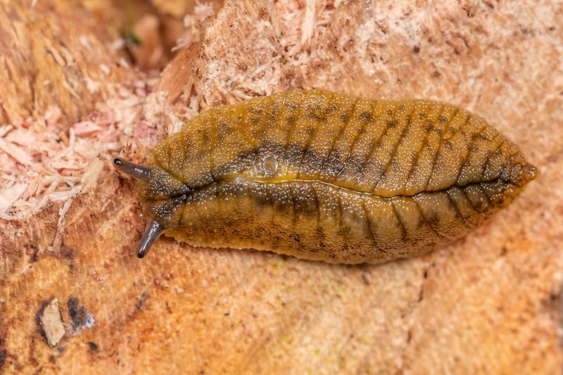 Leaf-veined slug (Athoracophorus bitentaculatus). Brook Waimarama Ecosanctuary, Nelson.