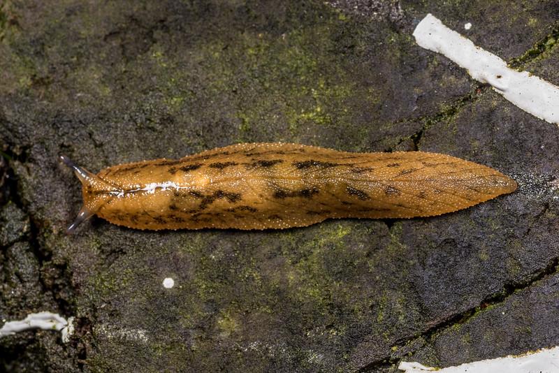 Leaf-veined slug (Athoracophorus suteri). Port Craig, Fiordland National Park.