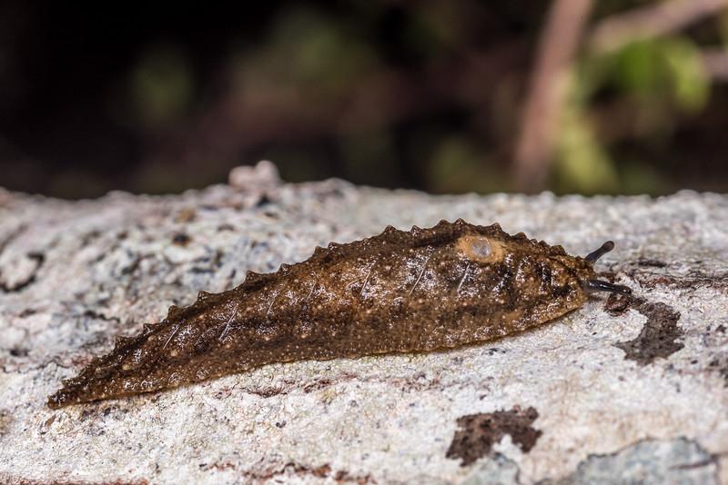 Leaf-veined slug (Athoracophorus suteri). Same individual as above, in defense posture. Lake Monk, Fiordland National Park.