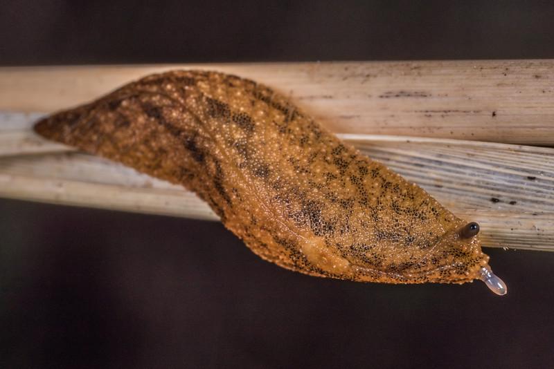 Leaf-veined slug (Athoracophorus suteri). Flora Hut, Kahurangi National Park.