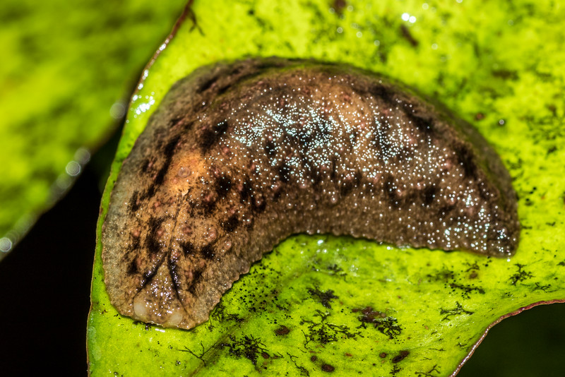 Leaf-veined slug (Athoracophorus suteri). Big River, Fiordland National Park.