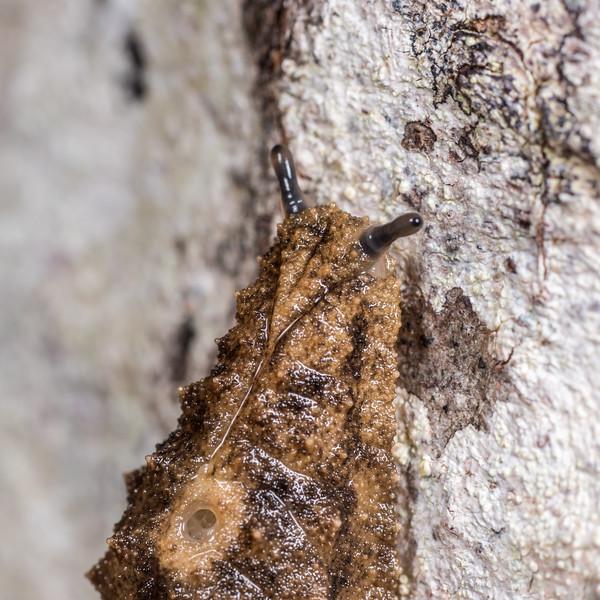 Leaf-veined slug (Athoracophorus suteri). Lake Monk, Fiordland National Park.