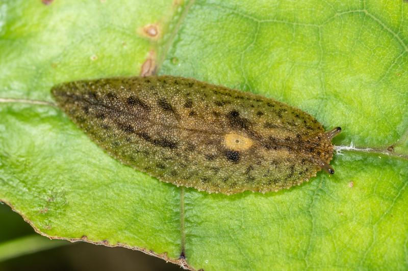 Leaf-veined slug (Athoracophorus suteri). Sledge Track, Palmerston North.