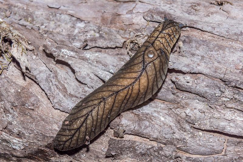 Pseudaneitea gigantea, the largest of our leaf-veined slugs. Mount Perry, Heaphy Track, Kahurangi National Park.