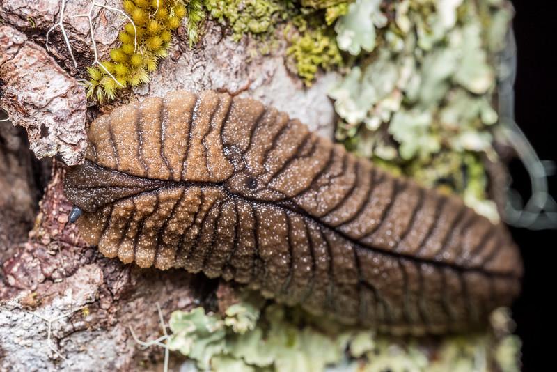 Leaf-veined slug (Pseudaneitea gigantea). Lewis Pass.