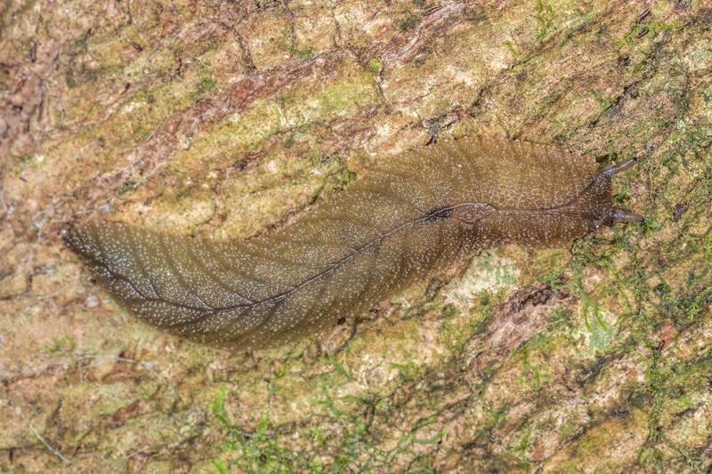Leaf-veined slug (Pseudaneitea papillata). Hinau Track, Kaikōura.