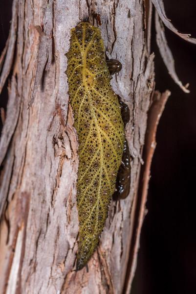 Leaf-veined slug (Pseudaneitea papillata). Perry Saddle, Heaphy Track, Kahurangi National Park.