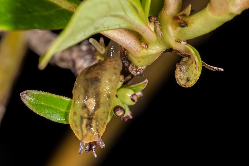 Leaf-veined slug (Athoracophoridae) on karamū (Coprosma robusta). Whariwharangi Bay, Abel Tasman National Park.