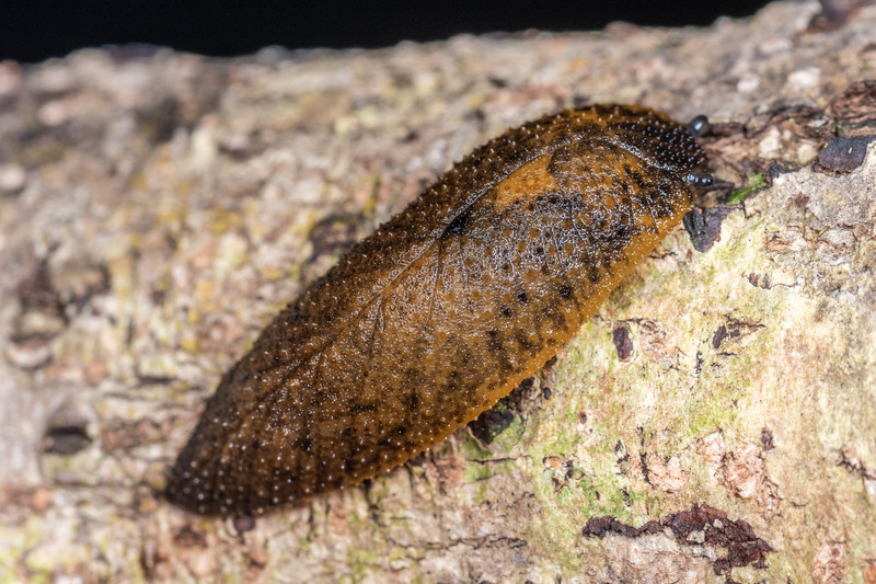 Leaf-veined slug (Athoracophorus spp.). Smoothwater Bay, South Westland.