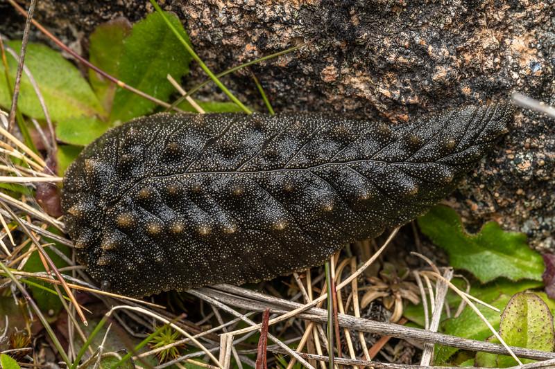 Leaf-veined slug (Pseudaneitea sp.). Mount Somers, Canterbury.