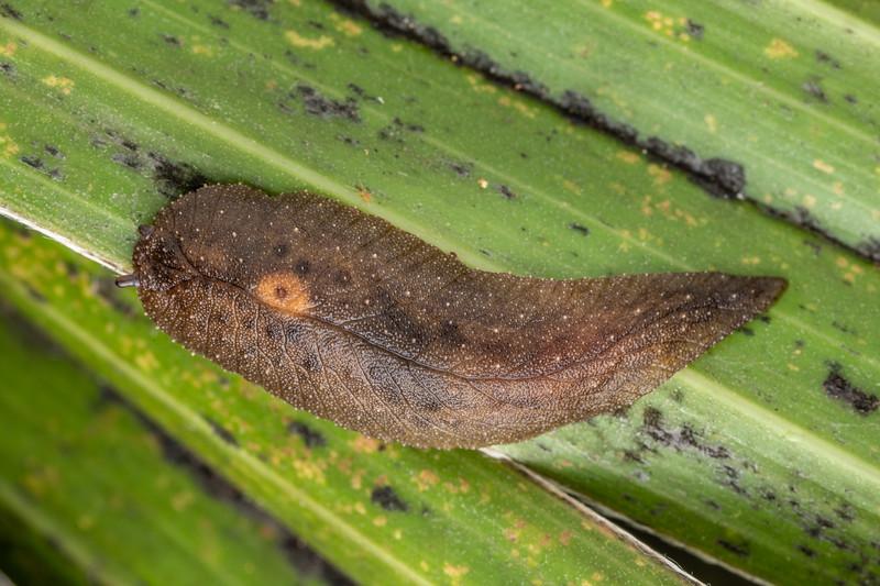 Leaf-veined slug (Pseudaneitea sp.). Waihohonu Hut, Tongariro National Park.
