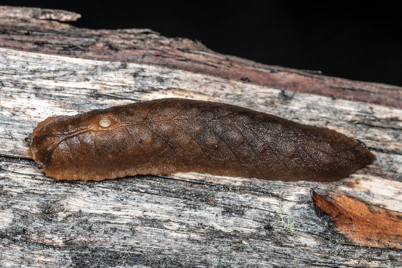 Leaf-veined slug (Pseudaneitea sp.). Flagstaff, Dunedin.