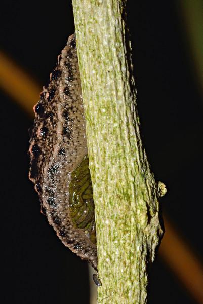 Leaf-veined slug (Pseudaneitea sp.). Opoho, Dunedin.