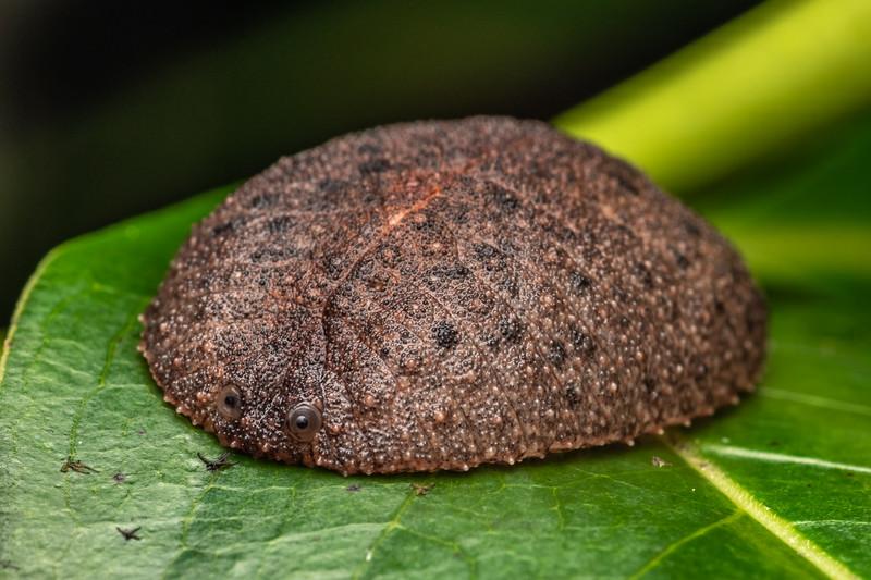 Leaf-veined slug (Pseudaneitea sp.). The Pinnacles, Coromandel.