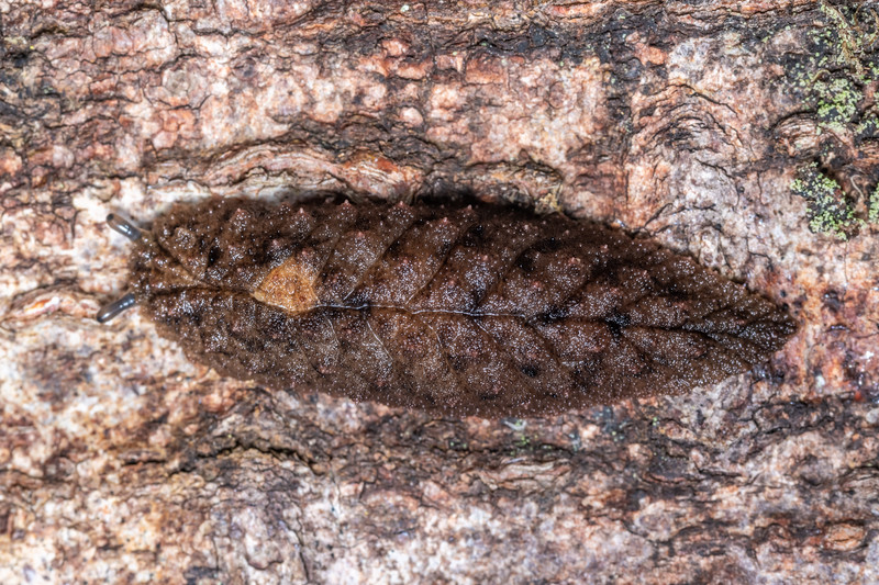 Leaf-veined slug (Pseudaneitea sp.). Lady Bay, Long Sound, Fiordland National Park.