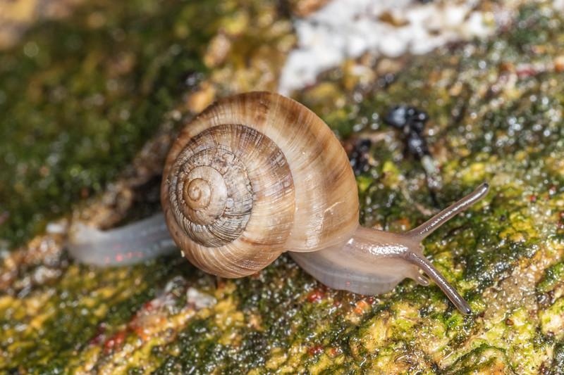 Snail (Serpho kivi). Blue Lake, Rotorua.