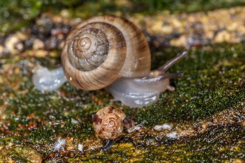 Two snails in the family Charopidae. The larger one is Serpho kivi. Blue Lake, Rotorua.