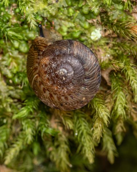 Land snail (Thalassohelix zelandiae). Richmond Saddle. Richmond Range, Marlborough.