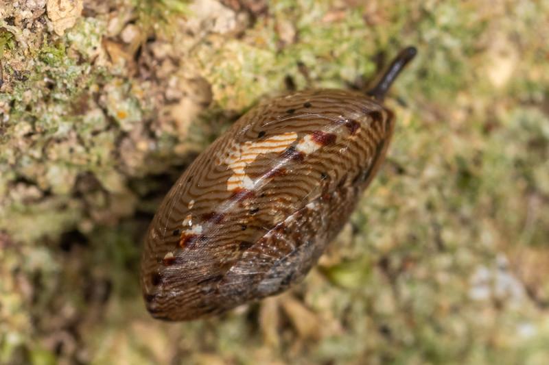 Land snail (Thalassohelix zelandiae). Nydia Lodge, Nydia Bay, Marlborough Sounds.