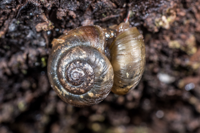 Land snail (Thermia cressida). Port Craig, Fiordland National Park.