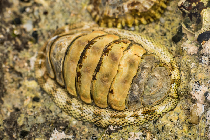 Snakeskin chiton (Sypharochiton pelliserpentis). Port Craig, Fiordland National Park.