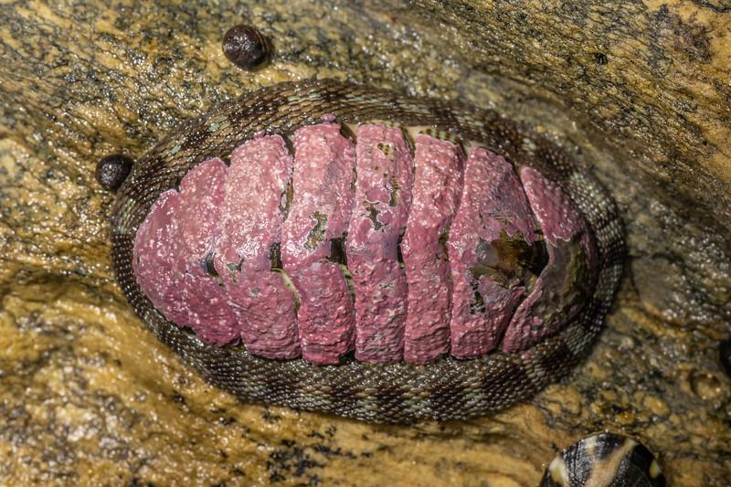 Snakeskin chiton (Sypharochiton pelliserpentis). Huriawa Peninsula, Karitane, Otago.