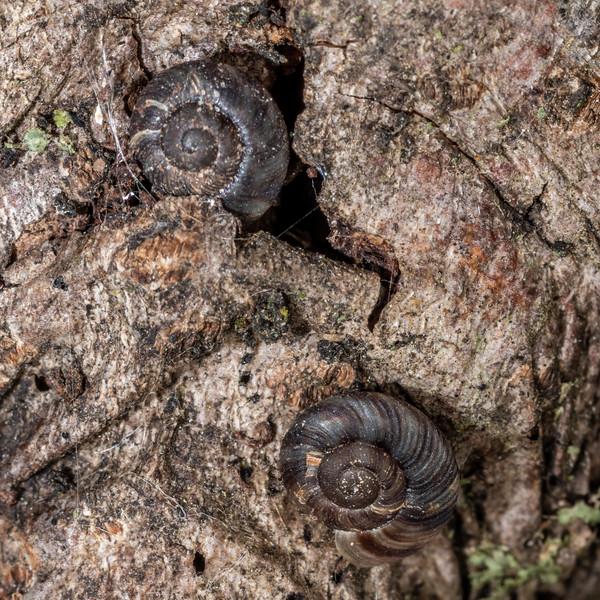 Flamed tigersnail (Anguispira alternata). <br /> Wild River State Park, MN, USA.