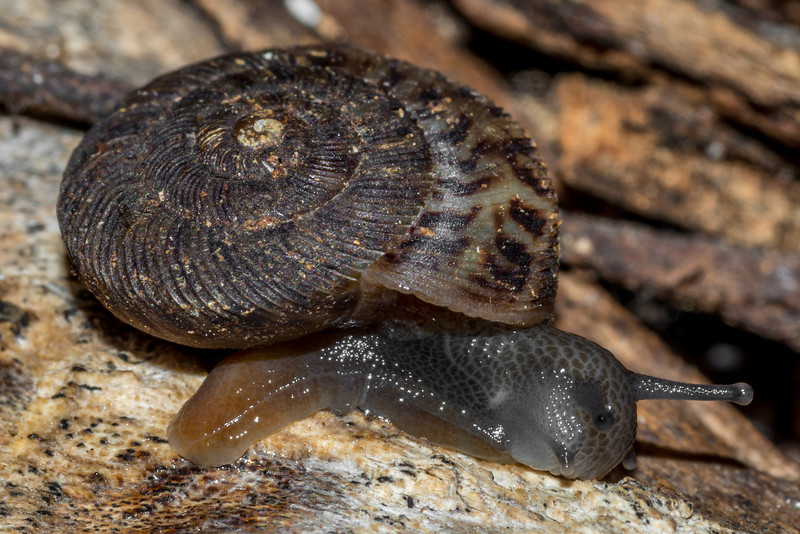 Land snail (Anguispira spp., probably Anguispira alternata angulata). St Croix Falls, WI, USA.