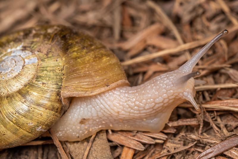 Robust lancetooth snail (Haplotrema vancouverense). Boy Scout Tree Trail, Jedediah Smith Redwoods State Park.