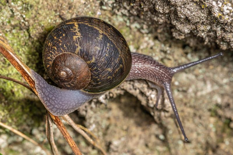 Garden snail (Cornu aspersum). Sledge track, Palmerston North, Manawatū.