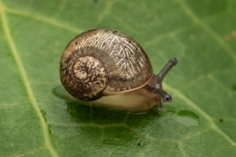 Garden snail (Cornu aspersum). Driving Creek Ecosanctuary, Coromandel.