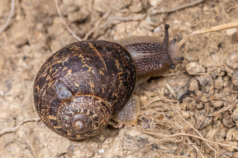 Garden snail (Cornu aspersum). Bob's Bay Track, Picton.