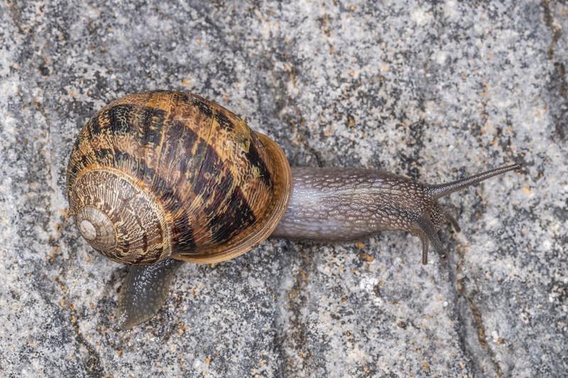 Garden snail (Cornu aspersum). Abbey Caves, Whangarei, Northland.