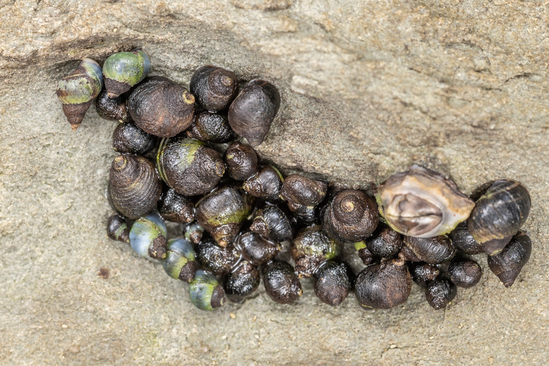 Brown periwinkle (Austrolittorina cincta) and blue-banded periwinkle (Ausrolittorina antipodum). Point Kean, Kaikōura.