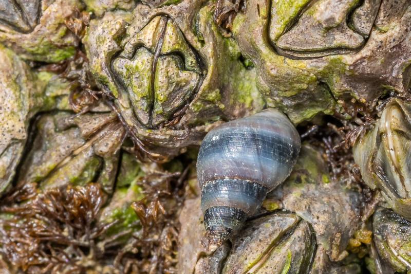 Beaked barnacle (Austrominius modestus) and blue-banded periwinkle (Austrolittorina antipodum). Waikouaiti River estuary, Karitane, Otago.