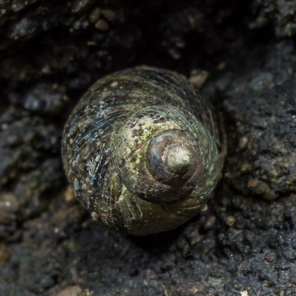 Brown periwinkle (Austrolittorina cincta). Homminy Cove to Stafford Bay, South Westland.