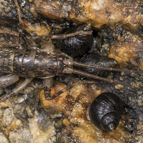 Cave wētā / tokoriro and brown periwinkle (Austrolittorina cincta) on coastal rocks. Rakiura / Stewart Island.