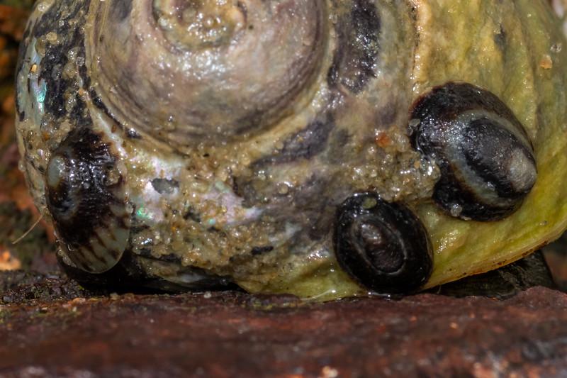 Notoacmea scapha on mudflat top shell (Diloma subrostrata). Waikouaiti River estuary, Karitane, Otago.