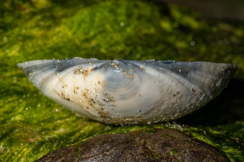 Large trough shell (Spisula murchisoni). Huriawa Peninsula, Karitane, Otago.