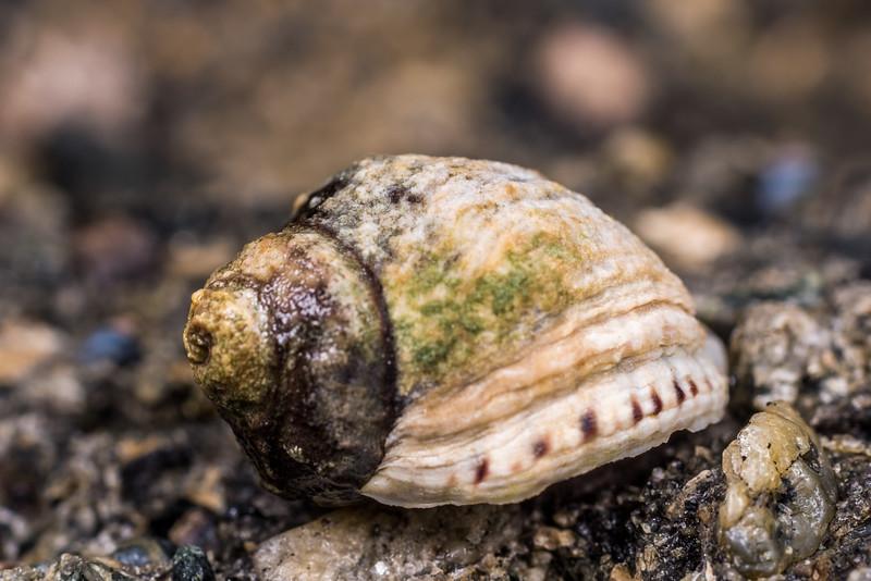 Oyster borer (Haustrum albomarginatum). Port Craig, Fiordland National Park.
