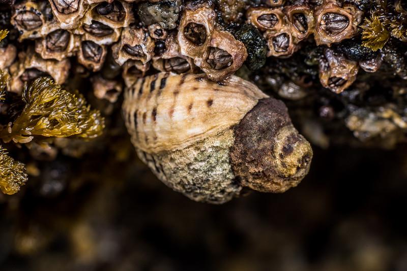 Oyster borer (Haustrum albomarginatum) and column barnacles (Chamaesipho columna). Port Craig, Fiordland National Park.