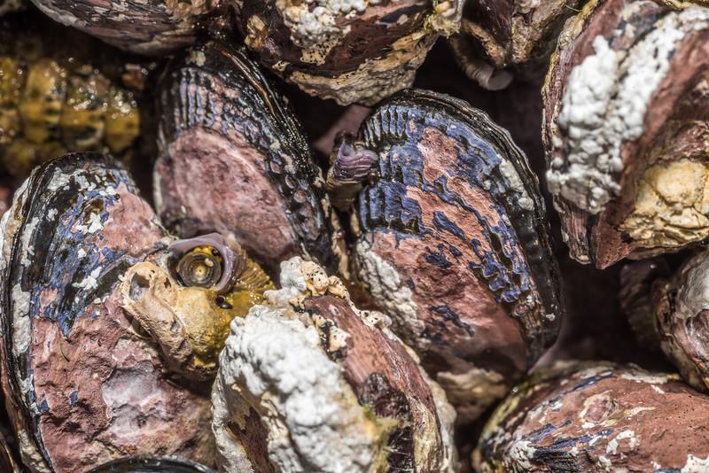 Ribbed mussel / pūkanikani (Aulacomya maoriana). Green Point, Chatham Island.